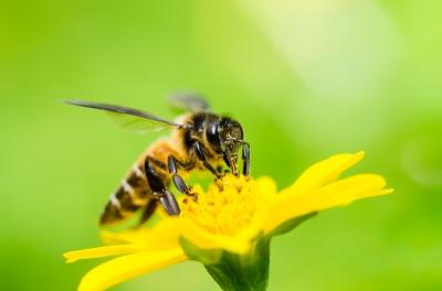 Soulager une piqûre d'abeille